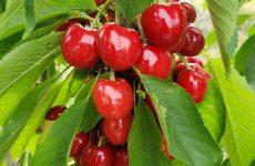 Sweet cherrys